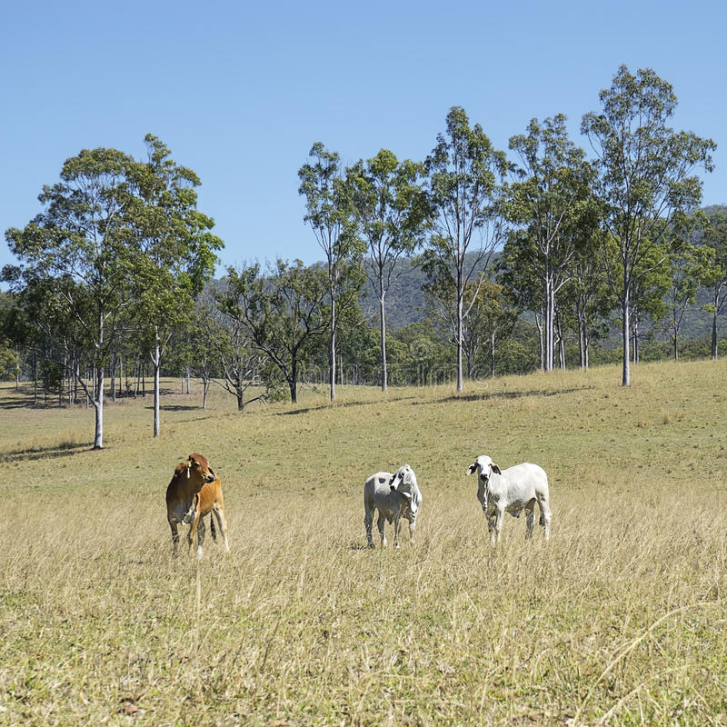 Australian Country Scene - Cattle Country. Australian Country Scene - Beef Cattle Country with 3 three cows and tall gum trees blue sky and green grass royalty free stock photos