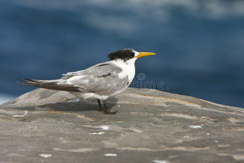 Download Australian Crested Tern Standing On A Rock Stock Image - Image: 20991247