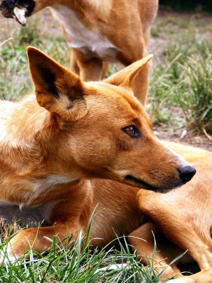 Australian dingo stock photo