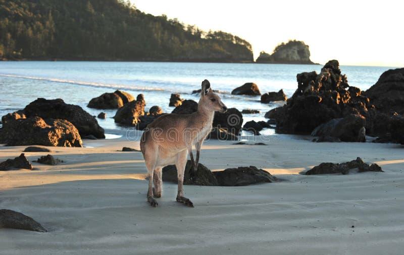 Australian eastern grey kangaroo beach,mackay. Australian eastern grey kangaroo on beach, cape hillsborough, mackay , north queensland. exotic mammal kangaroo stock images