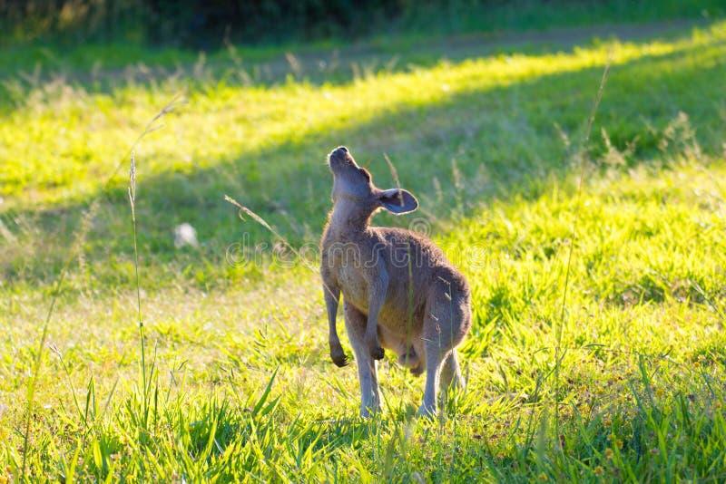 Australian Eastern Grey Kangaroo Stretching royalty free stock photography