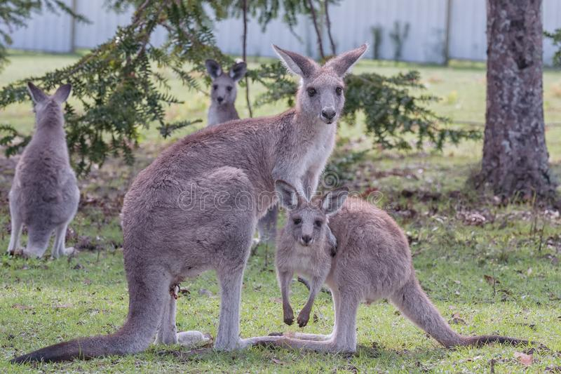 Australian Eastern Grey Kangaroos. A mother and her joey in a public reserve at Morisset, NSW, Australia royalty free stock images