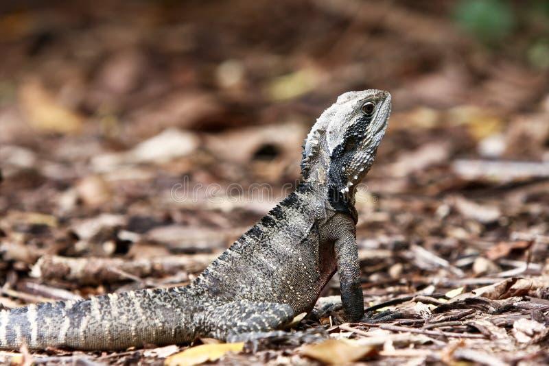 Download Australian Eastern Water Dragon On Land. Stock Photo - Image: 17814802
