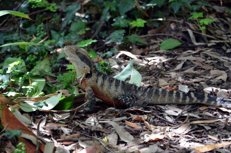 Australian Eastern Water Dragon royalty free stock image