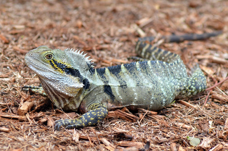 Australian Eastern Water Dragon stock images