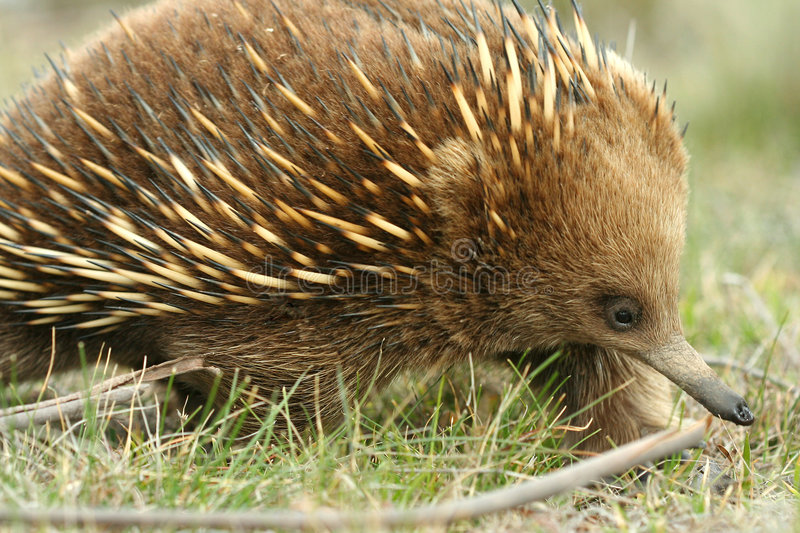 Download Australian Echidna stock photo. Image of porcupine, wildlife - 3322418
