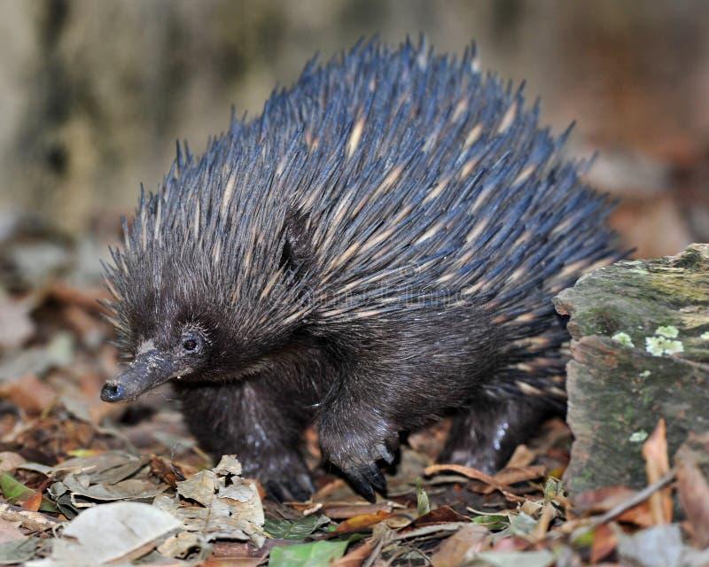 Australian echidna / spiny anteater,queensland stock photos