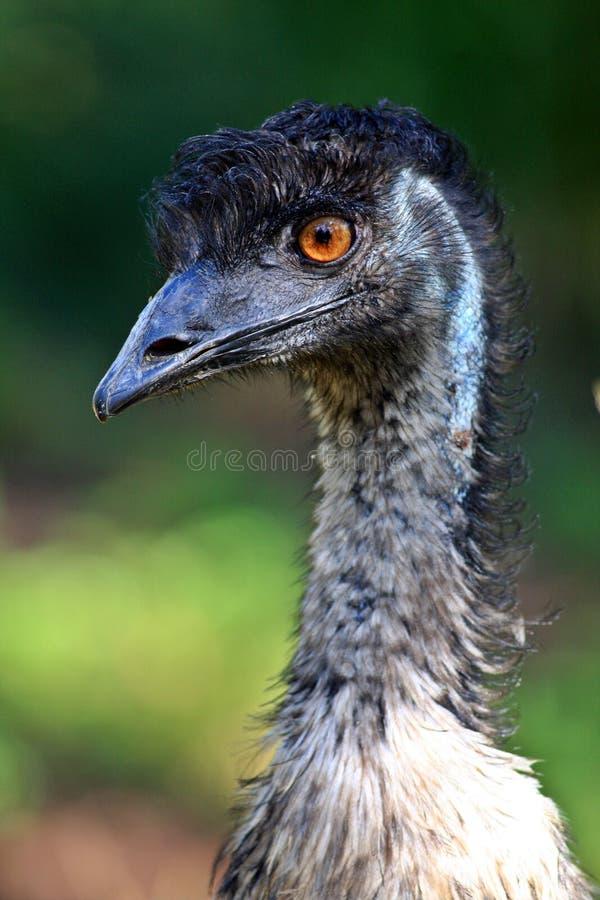 Download Australian Emu stock photo. Image of curious, wildlife - 3783358