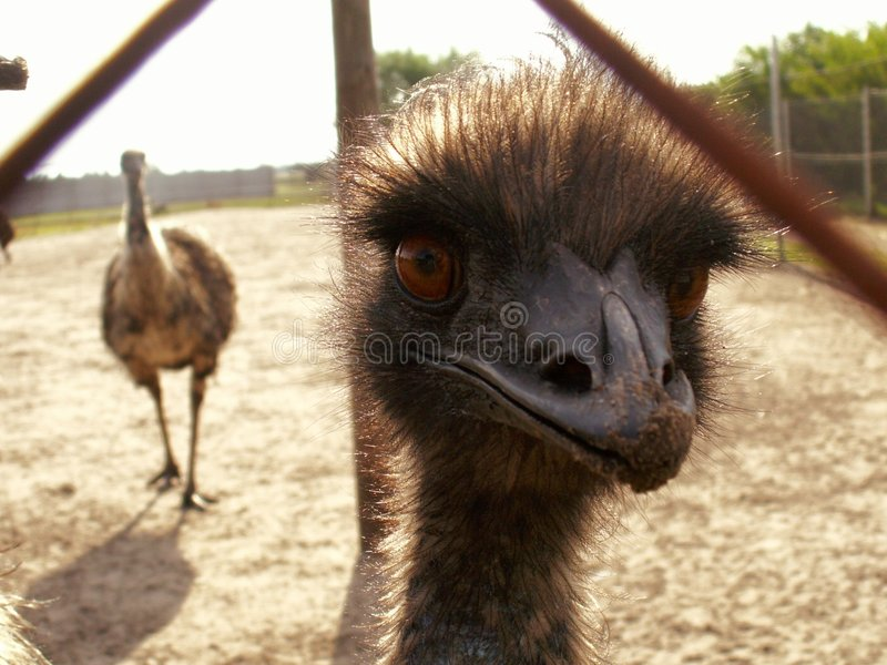 Australian emu stock photo