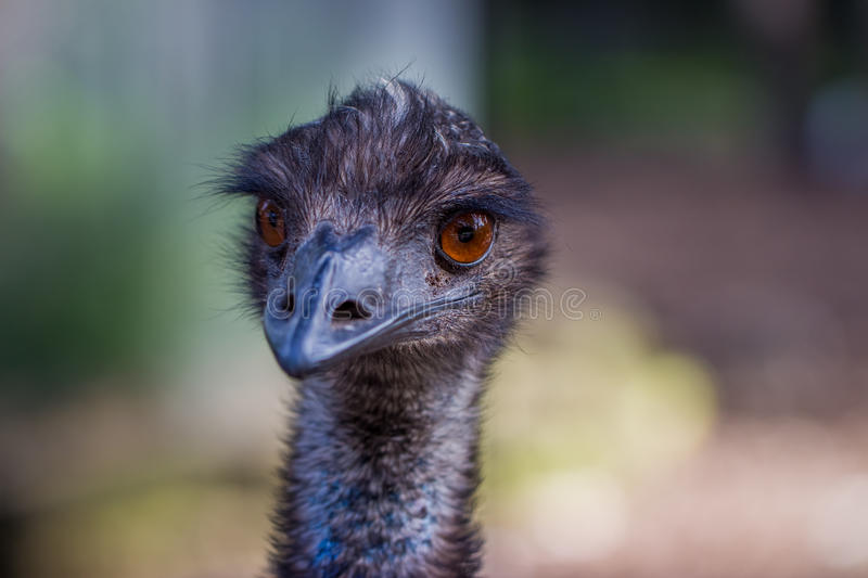 Australian Emu bird Closeup royalty free stock photo