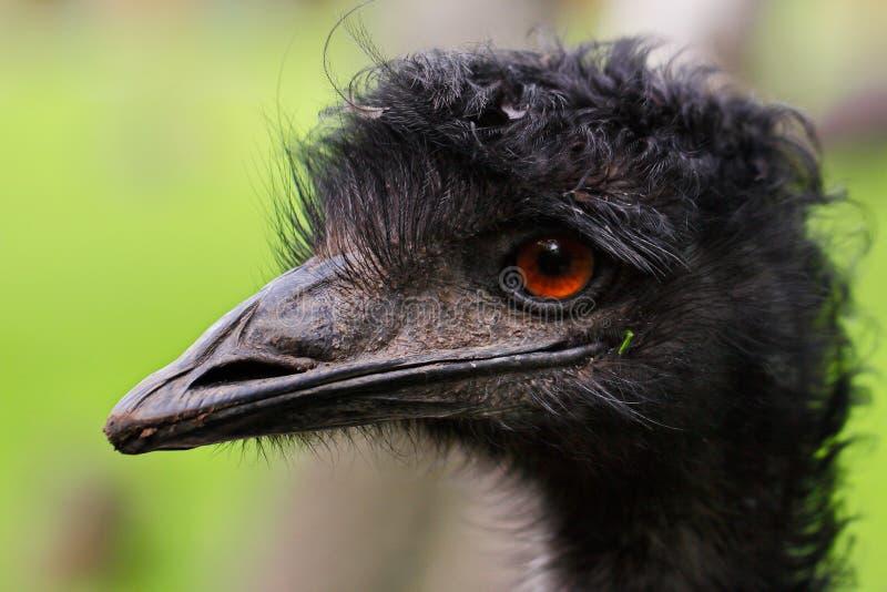 Australian Emu Dromaius novaehollandiae, view of an Emu`s head. Close-up of Australian Emu Dromaius novaehollandiae, view of an Emu`s head stock image