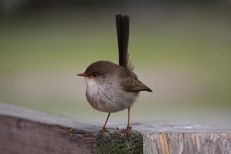 Download Australian Fairy Wren stock image. Image of avian, fairy - 29175795