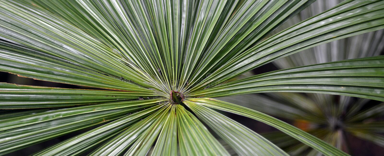 Australian fan palm Queensland Australia royalty free stock photos