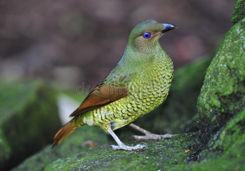 Australian female bower bird,blue mountain, sydney royalty free stock photography