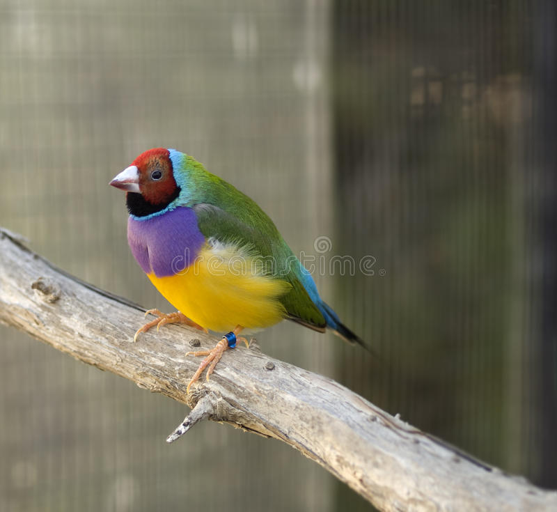 Australian finch Gouldian red headed male bird royalty free stock image