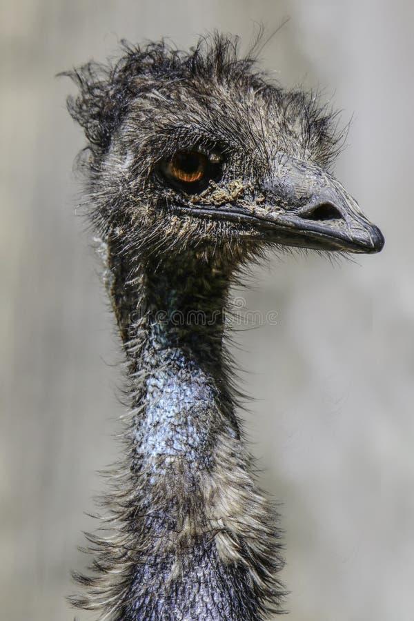 Emu. Australian Flightless Bird Close Up Portrait royalty free stock images