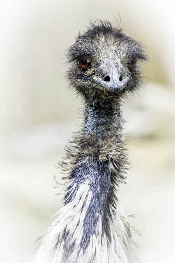 Emu. Australian Flightless Bird Close Up Portrait stock photos