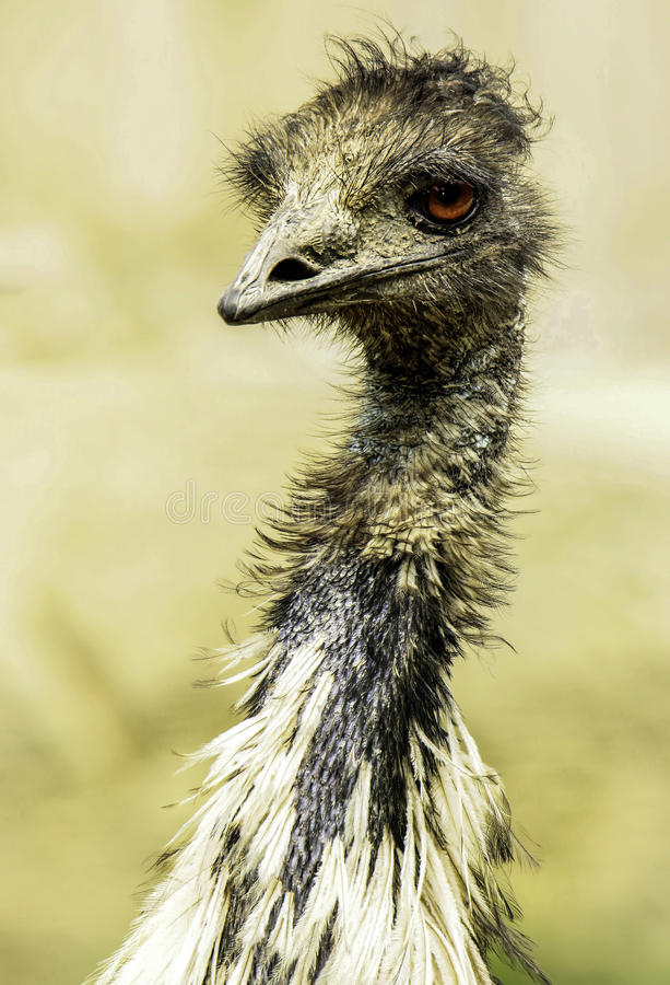 Emu. Australian Flightless Bird Close Up Portrait royalty free stock photography