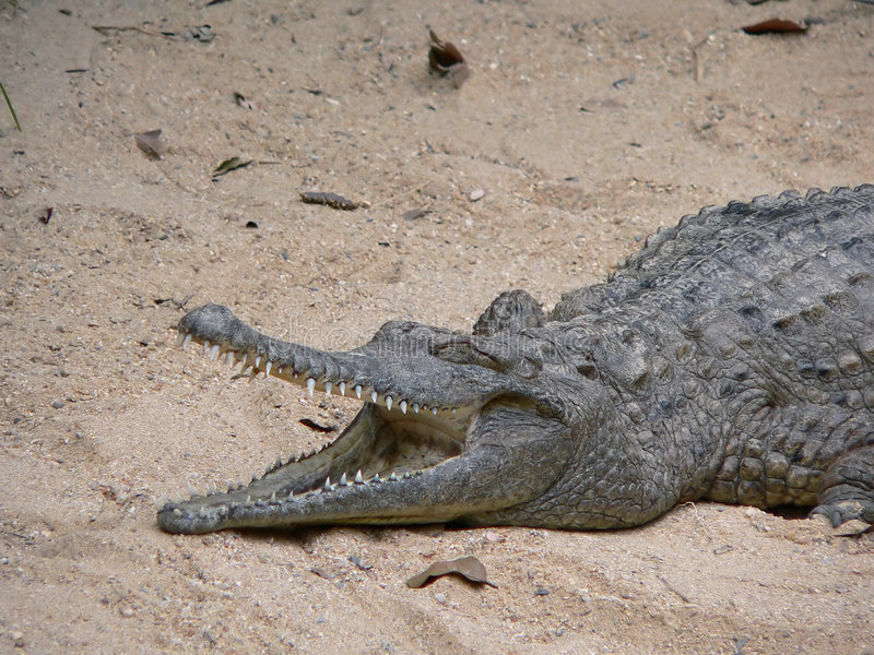 Australian freshwater crocodile royalty free stock images