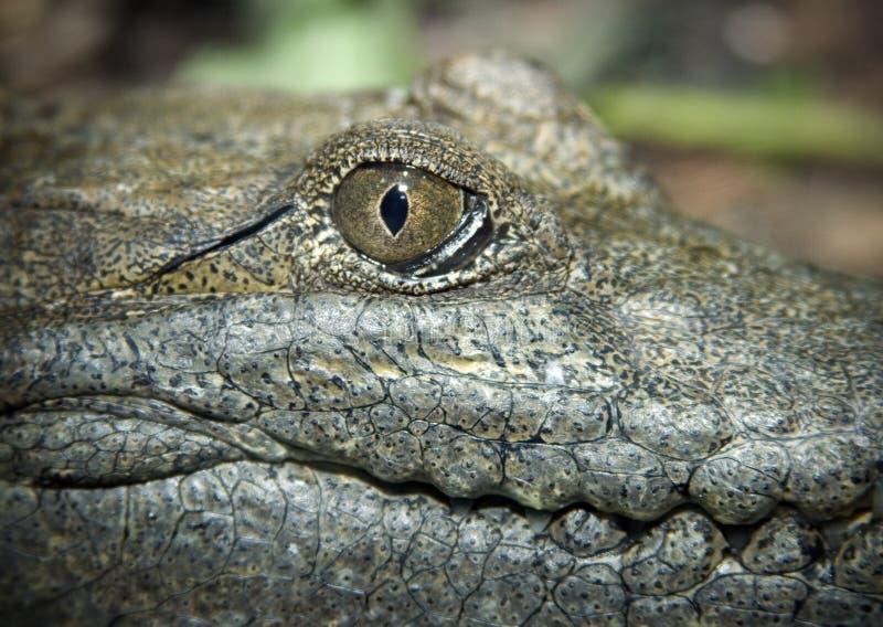 Australian freshwater crocodile royalty free stock image