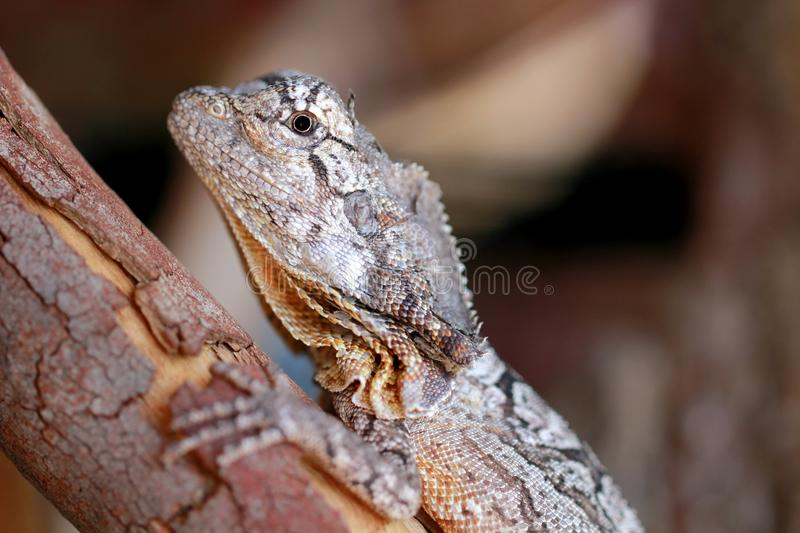 Download Australian Frilled Neck Lizard Royalty Free Stock Photos - Image: 33550718