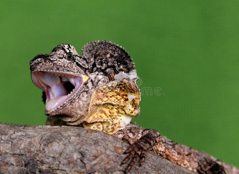 Australian Frilled Neck Lizard Royalty Free Stock Photos