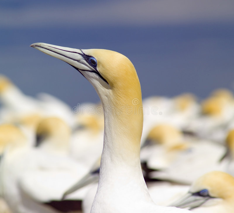 Australian Gannet. Looking up royalty free stock image