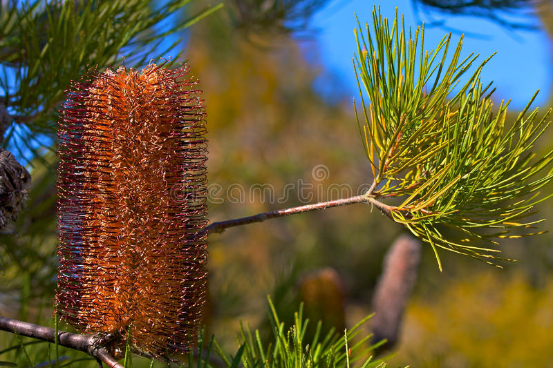 Australian Gold-and-red Styles Lantern Banksia