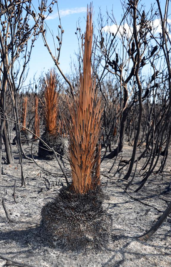 Australian Grass tree, Xanthorrhea, after a bushfire stock image