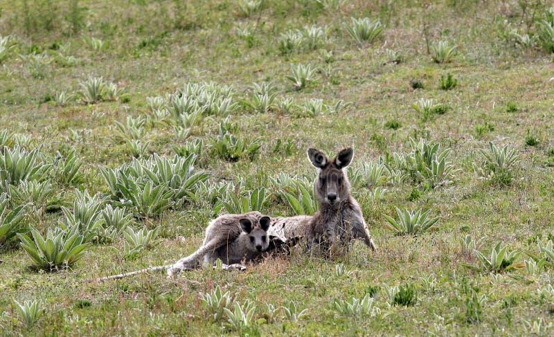 Australian Grey Kangaroo with young joey stock image