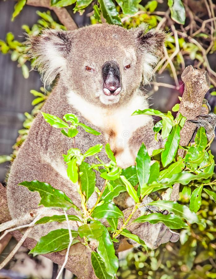 Australian grey Koala Bear in eucalyptus tree , Sydney, Austral. Australian grey Koala Bear in eucalyptus tree , Sydney, NSW, Australia royalty free stock images