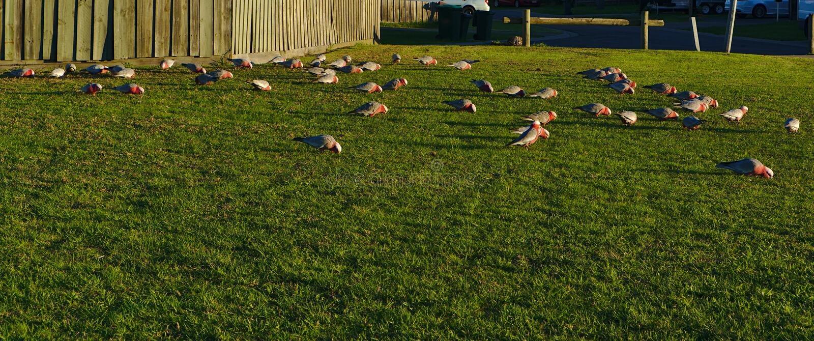 Australian grey and pink cockatoo galah birds royalty free stock photos