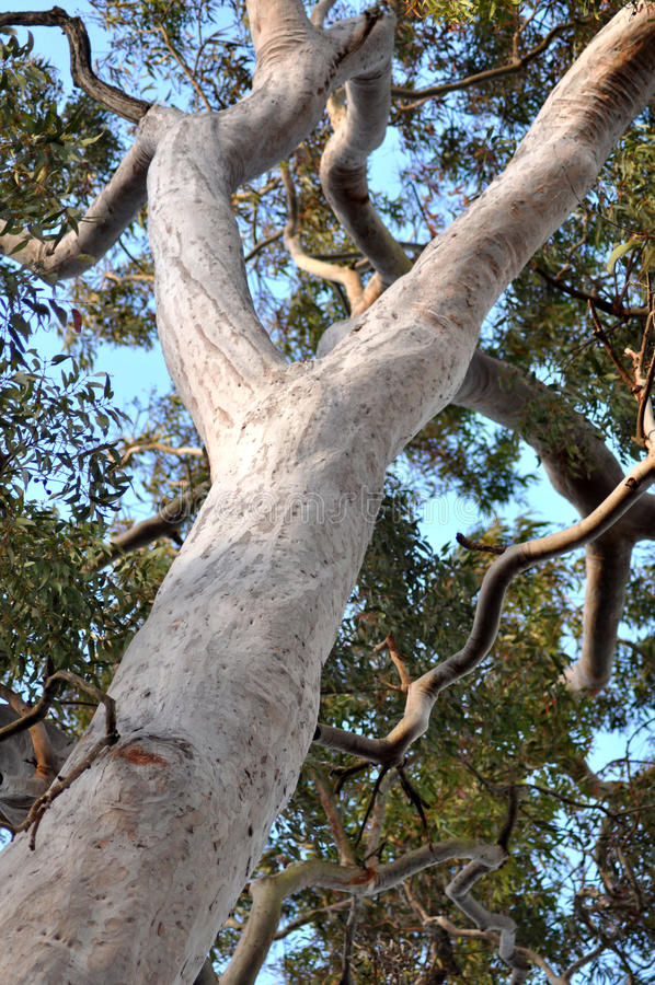 Australian Gum Tree stock photography