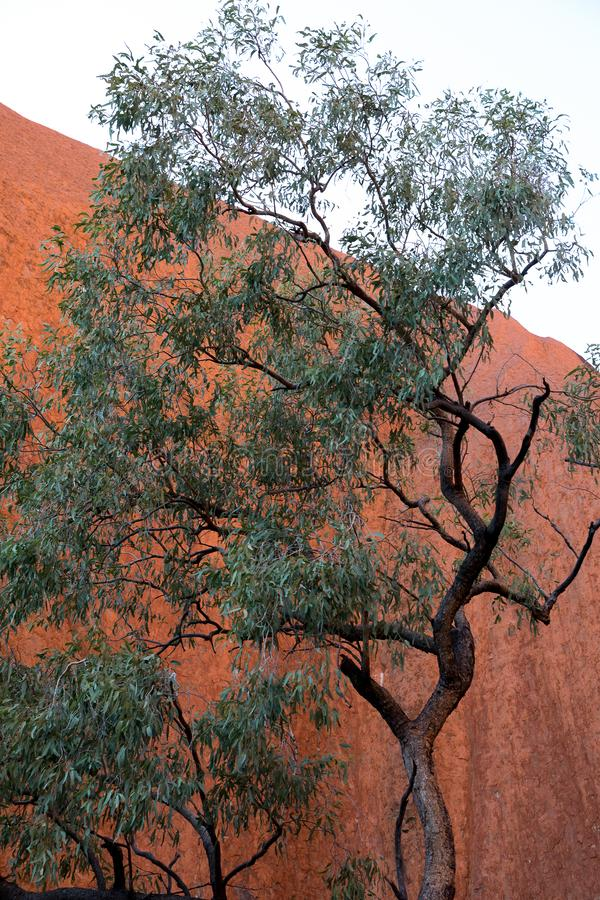Australian gum tree in outback. Australian gum tree with red rock as a background in the northern territory royalty free stock image