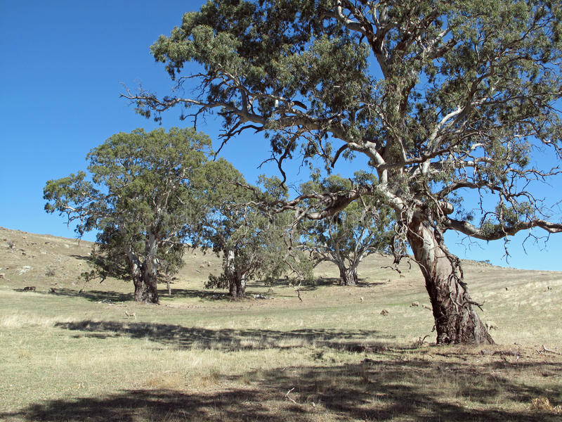 Australian gum trees landscape stock photo image of for Adelaide hills landscape