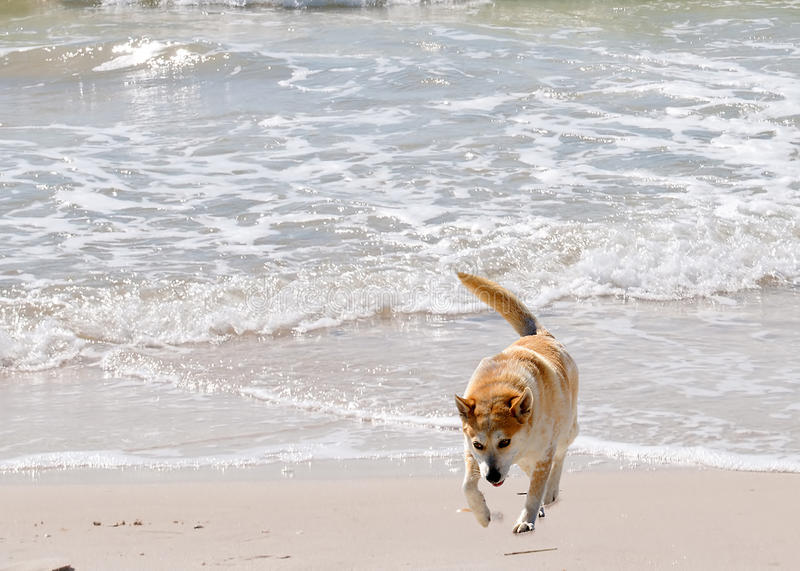 Australian Heeler. Dodging the waves as she roams along the beach royalty free stock photo