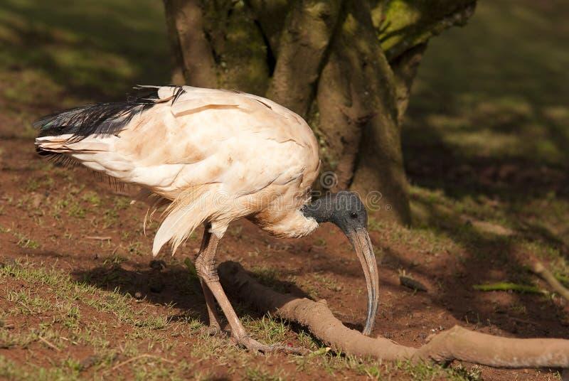 Australian Ibis. An Australian Ibis searching for food stock image