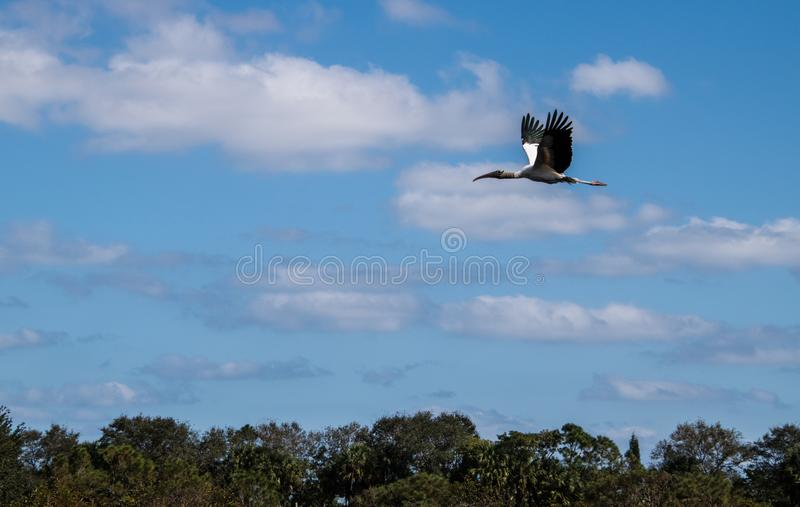 Beautiful Australian Ibis in flight over trees stock photo