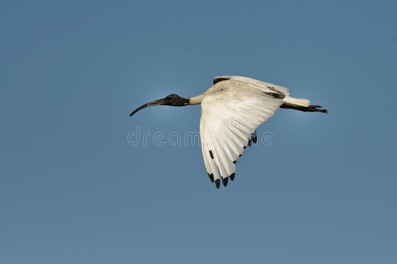 Australian Ibis - Threskiornis moluccus black and white ibis from Australia flying above the seaside and looking for crabs during royalty free stock photography