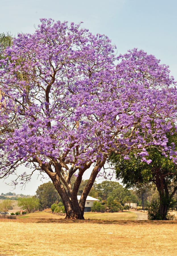 Australian Jacaranda tree blossoming full of purple violet flowers. A huge old Jacaranda tree stands proudly in a field in front of a Queenslander style home in stock photos