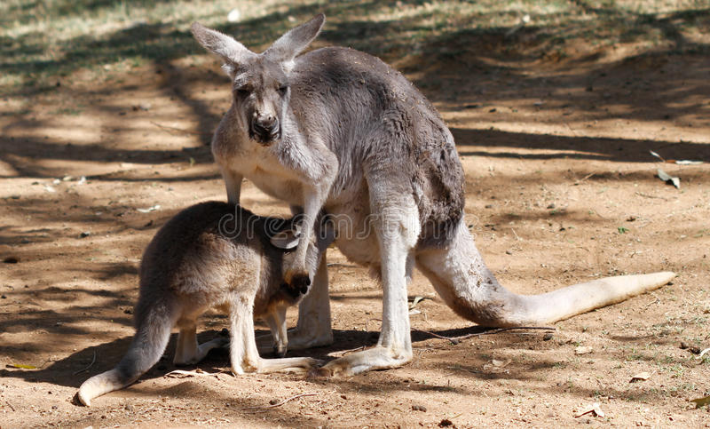 Australian kangaroo royalty free stock images