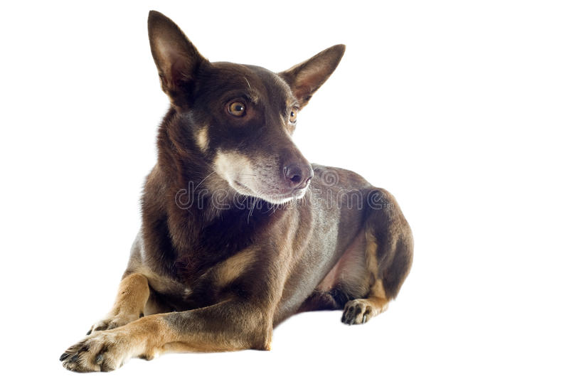 Australian kelpie stock photography