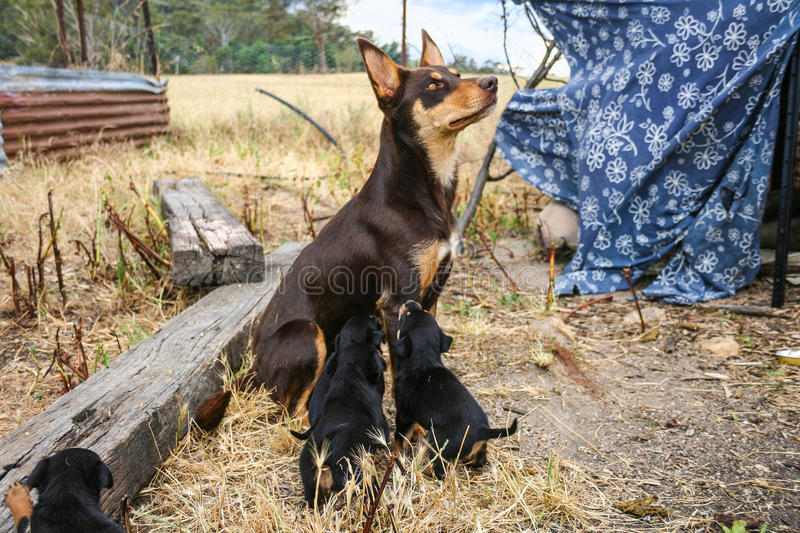 Australian kelpie sheep dog feeding puppies. stock image