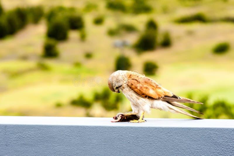 Australian kestrel Nankeen Kestrel, Falco cenchroides eating mouse royalty free stock images