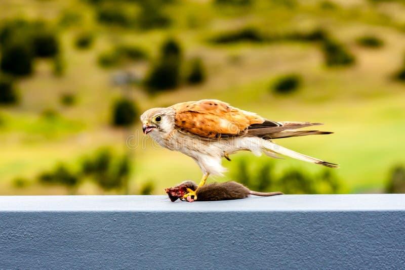Australian kestrel Nankeen Kestrel, Falco cenchroides eating mouse stock photo