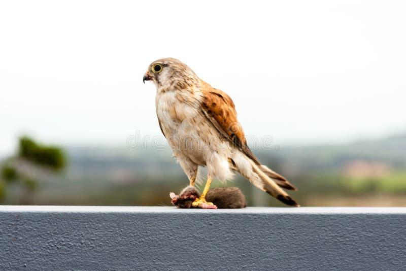 Australian kestrel Nankeen Kestrel, Falco cenchroides eating mouse royalty free stock photo