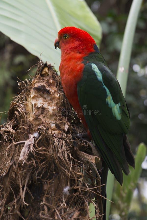 Download Australian King Parrot stock photo. Image of king, green - 34187176