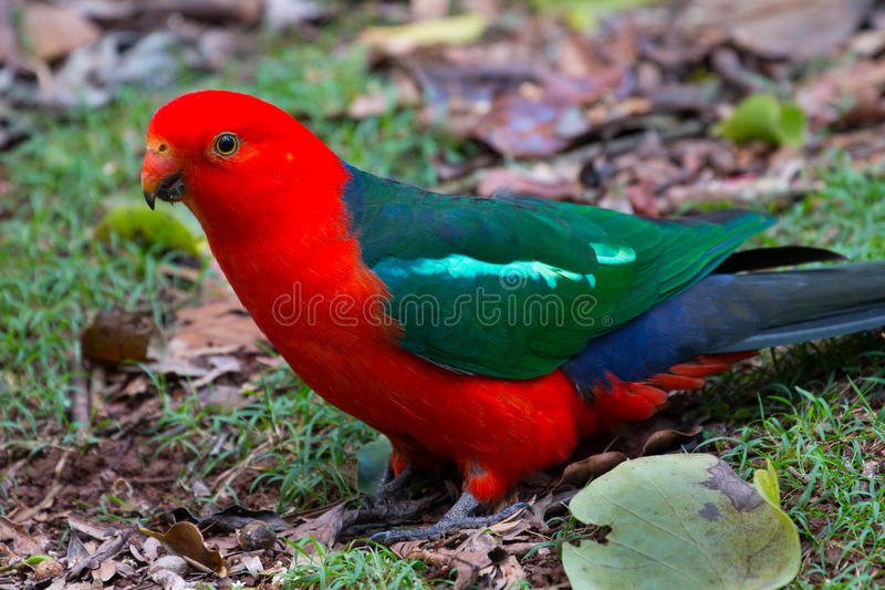 Download Australian King Parrot stock image. Image of clearing - 61722669