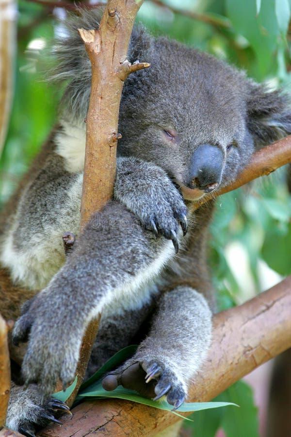 Australian Koala stock photos