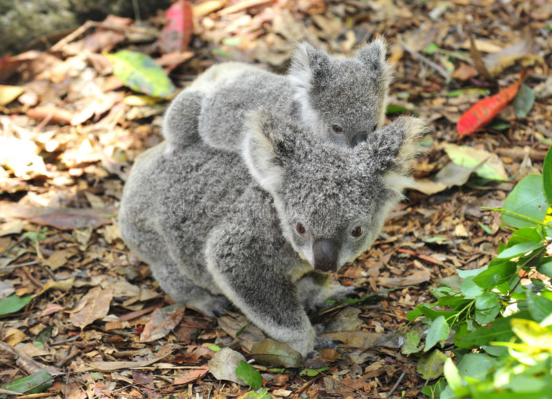 Australian koala bear carrying cute baby royalty free stock image